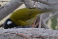 White Eared Honeyeater - The Block Berringa