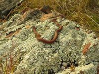 White Lipped Snake- The Block Berringa