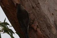 White Throated Treecreeper - Berringa Sanctuary
