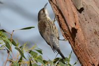 White Throated Treecreeper - Berringa Sanctuary