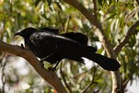 White Winged Chough - The Block Berringa