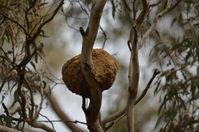 White Winged Cough Nest - Berringa Sanctuary
