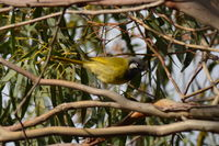 White-eared Honeyeater The Block Berringa