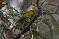 White- eared honey eater - Berringa Sanctuary