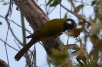 White- eared honey eater - Berringa Sanctuary