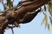 White-throated Treecreeper The Block Berringa