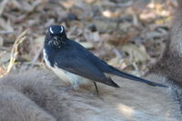 Willie Wag Tail - Yanchep National Park- W.A