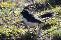 Willie Wagtail - The Block Berringa