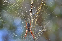 Yanchep National Park - Orb Weaving Spider - W.A