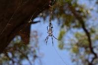 Yanchep National Park - Orb Weaving Spider - W.A