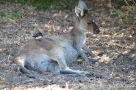 Yanchep National Park W.A