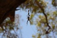 Yanchep National Park- Orb Weaving Spider - W.A