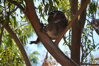 Yanchep National Park - W.A