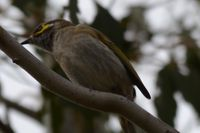 Yellow Faced Honeyeater - Berringa Block
