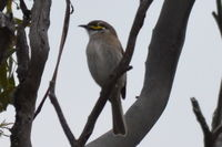 Yellow Faced Honeyeater - Berringa Sanctuary