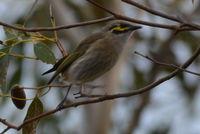 Yellow Faced Honeyeater - Berringa Sanctuary