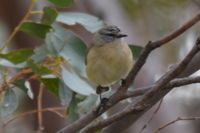 Yellow Rumped Thornbill - Berringa Block