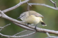 Yellow Rumped Thornbill - Berringa Sanctuary