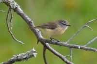 Yellow Rumped Thornbill - Berringa Sanctuary