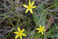 Yellow Rush Lilly  - Berringa Sanctuary
