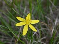Yellow Star - Beringa Sanctuary