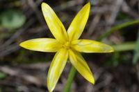 Yellow Star - Berringa Sanctuary