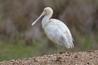 Yellow billed spoonbill - Berringa Sanctuary