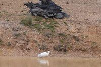 Yellow billed spoonbill - Berringa Sanctuary