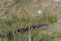 Copperhead - Berringa Sanctuary