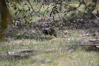 Short - Beacked Echidna - Berringa Sanctuary
