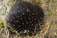 Short - Beacked Echidna - Berringa Sanctuary