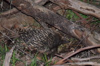 Short - Beaked Echidna mating time 2 boys 1 girl - Berringa Sanctuary