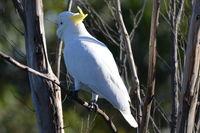 Sulphur Created Cockatoo - Berringa Sanctuary