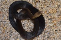Dugite - Female selling 4 for $1400.00